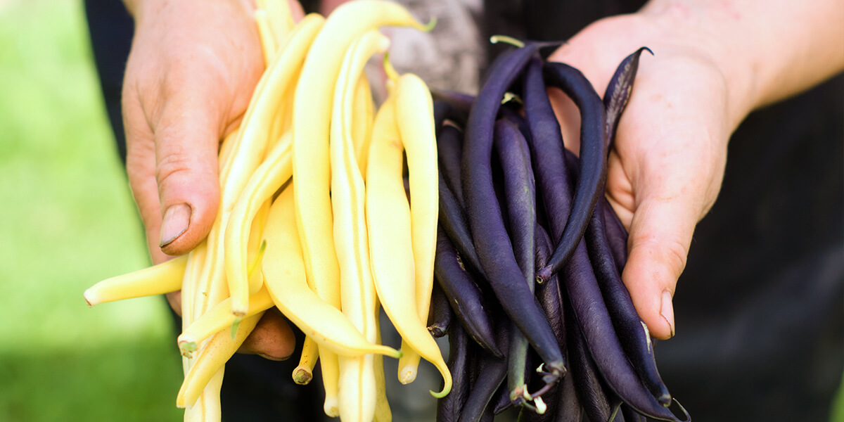 platt hill vegetable gardening beginners holding fresh purple yellow beans