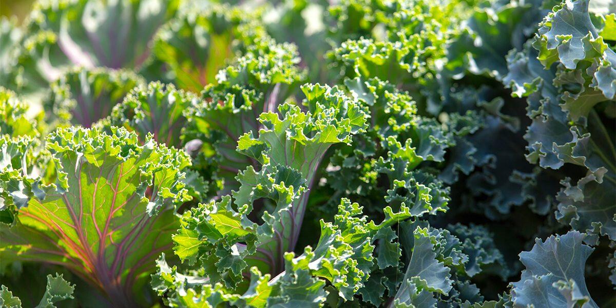platt hill vegetable gardening beginners kale up close