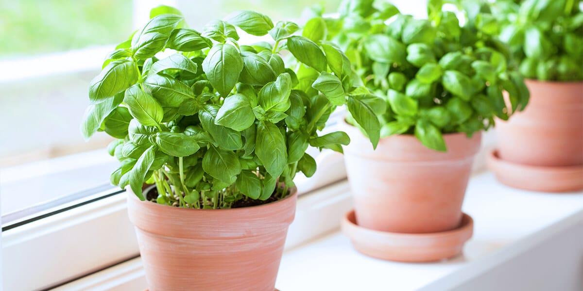 platt hill nursery indoor kitchen herb garden basil plants in terra cotta pots windowsill