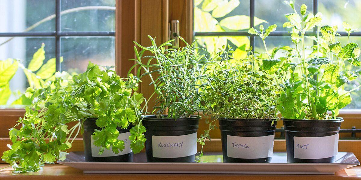 platt hill nursery indoor kitchen herb garden variety of herbs in windowsill